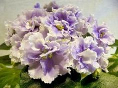 Pc-Belissimo - Lovely In Italian Repkina Huge Semidouble And Double Purple Flowers With Crimped Edges, With A Wide White Border And Green Edging. Perennial Flowering Plants, Herbaceous Perennials, Air Plants, Indoor Plants, Saintpaulia, African Violet, Pansies, Purple Flowers, Places