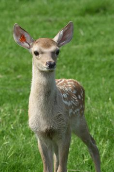 A rare Bukhara Deer calf born in June at Scotland's Highland Wildlife Park is part of a global effort to bring the species back from the brink of extinction. Learn more at ZooBorns.com and at http://www.zooborns.com/zooborns/2016/07/changing-the-future-of-an-endangered-deer-species.html