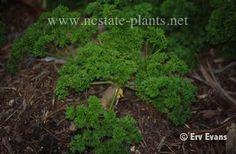 Herbs: Petroselinum crispum, Parsley