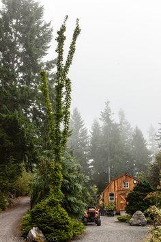 Coenosium Gardens, Acer saccharum 'Newton Sentry, foliage gardening