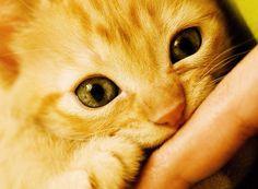 Cute kitty bites finger.