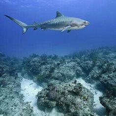 Tiger Shark in the Bahamas