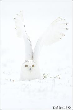 Snowy Owl -It's there.