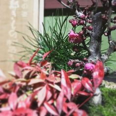 【_tinkermeg_】さんのInstagramをピンしています。 《梅は咲いたか🙌 桜はまだかいな🌸  春が待ち遠しい🌞🌸🍡☘🌹🐝 #盆栽 #bonsai #梅 #ume #bloom #松 #matsu #おたふく南天 #nanten #雪 #snow #桜 #sakura》