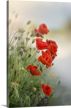 Premium Thick-Wrap Canvas Wall Art Print entitled Flanders poppy with sun flare., None