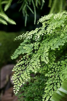 How to care for ferns? Ferns are one of the oldest plants, dating back to prehistoric times. These adaptable plants will thrive indoors with the right amount of humidity. Some ferns to consider are button ferns Shade Garden, Garden Plants, Indoor Plants, Potted Plants, Indoor Ferns, Organic Gardening, Gardening Tips, Vegetable Gardening, Gardening Books