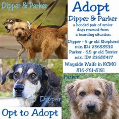 Dipper and Parker are a bonded pair of senior dogs that were rescued from a hoarding situation.  They were kept outside without human contact so did not receive socialization.  They were each adopted from Wayside Waifs animal shelter - separately.   Both ran away from their new homes and ended up back at the shelter where staff realized this pair really needed to go to a home together.  Dipper is a 8 1/2 year old German Shepherd mix.  Parker is a 6 1/2 year old male Terrier mix.