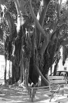 Ficus (Aventuras al sol II)... de Carmen Romero