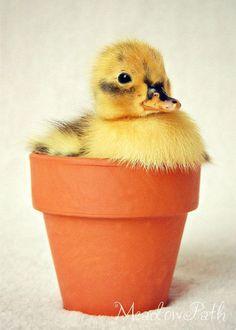 Duck in a pot!