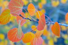 Close up view of red aspen leaves