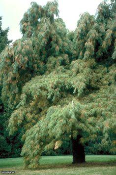 Eastern White Pine (Pinus strobus 'Pendula')