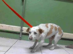 Print A4941551 Dog • Terrier • Adult • Male • Small L.A. County Animal Care Control: Carson Shelter Gardena, CA