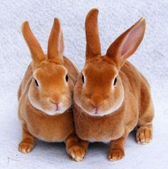 Picture of Two Mini Rex Cute Little Rabbits is the best thing you'll see all day! Mini Rex Rabbit, Pet Rabbit, Baby Bunnies, Cute Bunny, Bunny Rabbits, Kawaii Bunny, Rabbit Pictures, Animal Pictures, Coelho Rex