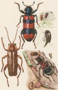 1957 Beetles Antique print Insects Offset by Craftissimo on Etsy, €13.95