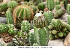 cactus and cacti in pots - Google Search
