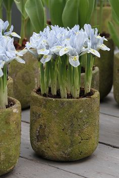 Bearded Iris grow in small containers for a beautiful display that can be easily rearranged.
