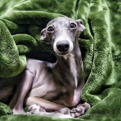 Chloe, an Italian Greyhound.