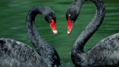 free download pictures of black swan - black swan category