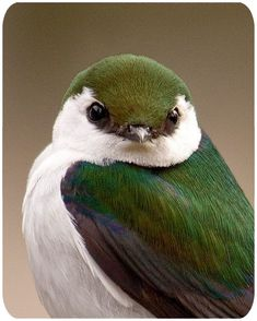 Violet Green Swallow. A pair will nest each year in one of my nest boxes. I monitor the boxes in my yard and submit the info to Cornell Lab for their Nest Watch Project. They nest in June and have two to three young. Photo by Christine Haines.