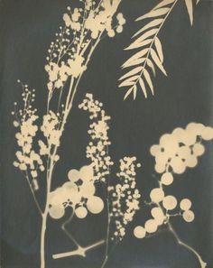 RUTTINGER    Etudes: blé, raisin, c. 1930 2 photogrammes 29,4 x 23, 3 cm