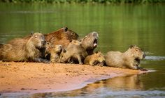 Capybara family members enjoy the sun in Brazil's Pantanal region. Capybaras are closely related to guinea pigs but weigh in at around 55 kg and grow up to a metre long. The whole wetland is almost as big as the UK and spreads more than 195,000 square kilometres across Brazil, Bolivia and Paraguay.
