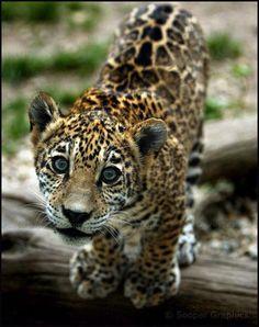 Jaguar Cub . ♥