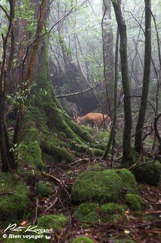 Yakushima mononoke (5) #yakushima #mononokeforest #forest #japan #miyazaki #dear