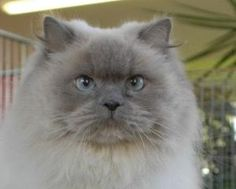 Goliath: Himalayan, Cat; Pulaski, TN ------------------------ He looks almost the same as mine. Love him.