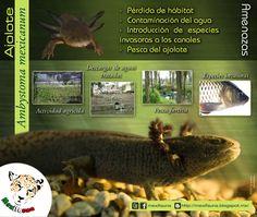 Ajolote (Ambystoma mexicanum): AMENAZAS MAYOR INFORMACIÓN: http://mexifauna.blogspot.mx/2014/08/ajolote-ambystoma-mexicanum.html