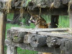 A perfect shot of a Hungry Tiger full of Anger... Roaring # Safari Park # Bangkok # Thailand