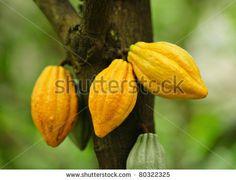 stock photo : Cocoa pods