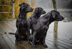 We all want to keep our Labrador safe from any harm. Practice good pet safety to help keep them healthy and safe. Rememer your Labrador depends on you . Raza Labrador, Labrador Dog Breed, Black Labrador Retriever, Labrador Retrievers, Labrador Names, Weimaraner Puppies, Dog Sleeping Positions, Sleeping Dogs, Flat Coated Retriever