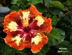 Pleiades Rose Of Sharon, Small Trees, Pretty Flowers, Botanical Gardens, Green Leaves, Shrubs, Planting Flowers, Orchids, Tropical