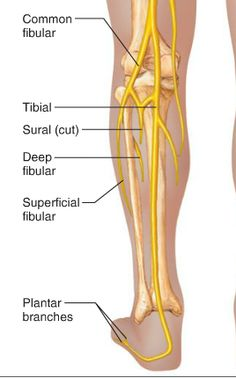 image tibial_nerve for term side of card