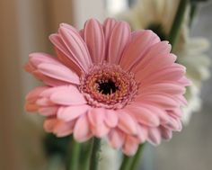 . Daisy, Gerbera Daisies, Plants, Pink, Nature, Flowers, Margarita Flower, Daisies, Plant