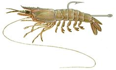 Some Basics For Rigging Live Bait Shrimp
