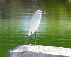 Birds of Phoenix - Gallery 3: Snowy Egret