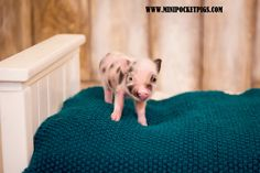 Mini Pigs For Sale, Pocket Pig, Pig Farming, Kids Rugs, Decor, Decoration, Kid Friendly Rugs, Decorating, Nursery Rugs