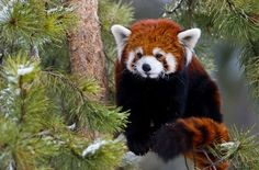The Red Panda typically grow to the size of a house cat, though their big, bushy tails add an additional 18 inches. The pandas use their ringed tails as wraparound blankets in the chilly mountain heights. They live in rainy, high-altitude forest habitat. Red pandas live in the mountains of Nepal and northern Myanmar (Burma), as well as in central China.