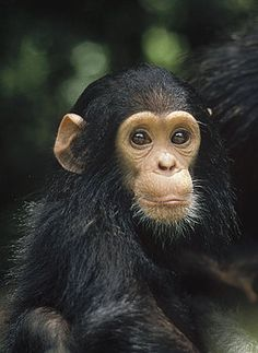 Global Gallery 'Chimpanzee Baby Portrait' Framed Photographic Print Size: H x W x D Monkey Art, Cute Monkey, Monkey Pictures, Cute Animal Pictures, Animals And Pets, Baby Animals, Cute Animals, Types Of Monkeys, Funny Cats And Dogs