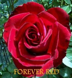 Forever Red, Beautiful Roses, Shop Ideas, Gardens, Flowers, Plants, Florals, Planters, Flower