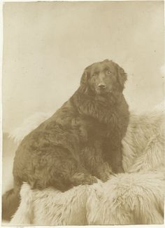 Cabinet card of large seated dog.  Photo by H. D. Ellingwood,  Ellingwood's Cor., Maine. From bendale collection