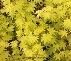 Acer palmatum 'Summer Gold' - Japanese Maples › Palmatum | Maplestone…
