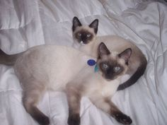 The 194 best cats images on pinterest cat tattoos cute for Siamese 9 electric motor