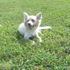 Alisa & Annabelle is an adoptable Australian Shepherd Dog in Doylestown, PA. NOTE: Please click on 'Read More About This Pet' below BEFORE contacting us. Annabelle and Alisa need foster homes -- can y...