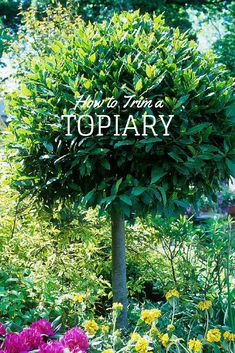 The versatile bay tree and shrub is a great edible addition to your garden, notes HGTV. Topiary Garden, Topiary Trees, Topiaries, Bay Leaf Tree, Bay Trees, Lawn And Garden, Garden Art, Indoor Garden, Garden Design