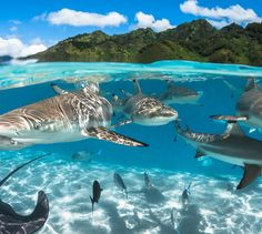 Bordered sharks photographed in the Moorea lagoon in French Polynesia Under The Water, Under The Sea, Underwater Creatures, Underwater Life, Ocean Creatures, Shark Bait, Reef Shark, Shark Fish, Photos Sous-marines