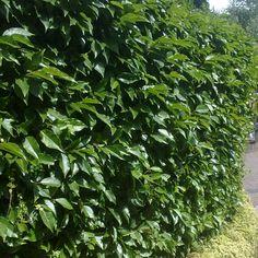 Portuguese Laurel Hedging Plants   Prunus Lusitanica from Best4Hedging  60-90cm £6.38ea