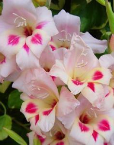 Gladiolus Biltmore Elvira Border