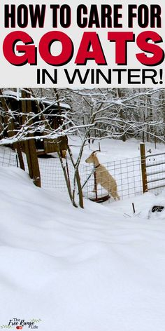 Do you raise goats and need to know how to care for them in the winter? Learn how to care for goats in the winter including differences in care from warm months. How to keep the warm, bedding, shelter and water needs to goats in winter.
